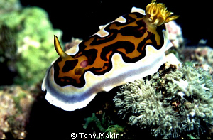 Nudibranch Pemba by Tony Makin 